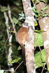 Scott's Sportive Lemur (Lepilemur scottorum) [madagascar_masoala_0455]