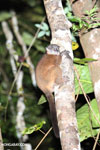 Scott's Sportive Lemur (Lepilemur scottorum) [madagascar_masoala_0457]