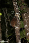 Scott's Sportive Lemur (Lepilemur scottorum) [madagascar_masoala_0460]