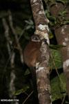 Scott's Sportive Lemur (Lepilemur scottorum) [madagascar_masoala_0461]