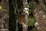 Scott's Sportive Lemur (Lepilemur scottorum) [madagascar_masoala_0462]