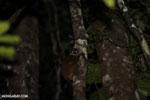 Scott's Sportive Lemur (Lepilemur scottorum) [madagascar_masoala_0463]