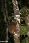 Scott's Sportive Lemur (Lepilemur scottorum) [madagascar_masoala_0464]