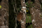 Scott's Sportive Lemur (Lepilemur scottorum) [madagascar_masoala_0465]
