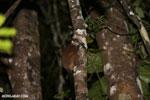 Scott's Sportive Lemur (Lepilemur scottorum) [madagascar_masoala_0466]