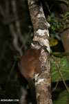 Scott's Sportive Lemur (Lepilemur scottorum) [madagascar_masoala_0467]