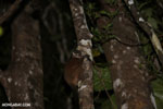 Scott's Sportive Lemur (Lepilemur scottorum) [madagascar_masoala_0469]