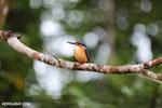 Madagascar kingfisher (Alcedo vintsioides) [madagascar_masoala_0470]