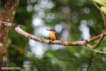 Madagascar kingfisher (Alcedo vintsioides) [madagascar_masoala_0471]
