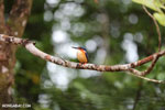 Madagascar kingfisher (Alcedo vintsioides) [madagascar_masoala_0472]