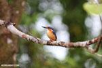 Madagascar kingfisher (Alcedo vintsioides) [madagascar_masoala_0473]