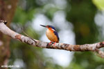 Madagascar kingfisher (Alcedo vintsioides) [madagascar_masoala_0474]