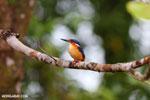 Madagascar kingfisher (Alcedo vintsioides) [madagascar_masoala_0475]
