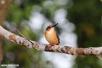 Madagascar kingfisher (Alcedo vintsioides) [madagascar_masoala_0477]