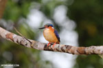 Madagascar kingfisher (Alcedo vintsioides) [madagascar_masoala_0478]