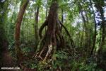 Tree [madagascar_masoala_0488]