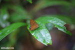 Butterfly [madagascar_masoala_0490]