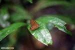 Butterfly [madagascar_masoala_0491]