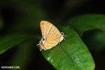 Butterfly [madagascar_masoala_0493]