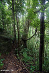 Rainforest trail [madagascar_masoala_0499]