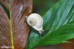 Whilte snail