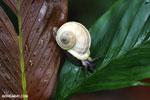 Whilte snail [madagascar_masoala_0501]