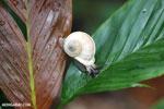 Whilte snail [madagascar_masoala_0502]
