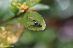 Jumping spider [madagascar_masoala_0513]
