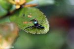 Jumping spider [madagascar_masoala_0514]