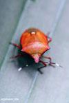 Shield bug [madagascar_masoala_0521]