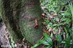 Red millipede [madagascar_masoala_0563]
