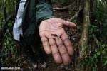 Peyrieras' Pygmy Chameleon (Brookesia peyrierasi) [madagascar_masoala_0576]