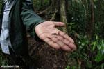 Peyrieras' Pygmy Chameleon (Brookesia peyrierasi) [madagascar_masoala_0577]