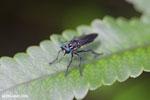 Blue-eyed fly [madagascar_masoala_0595]