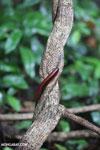 Red millipede [madagascar_masoala_0606]