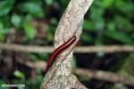 Red millipede [madagascar_masoala_0607]