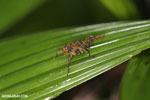 Grasshopper [madagascar_masoala_0609]
