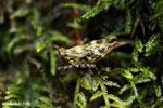 Grasshopper [madagascar_masoala_0631]