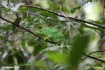 Parson's chameleon [madagascar_masoala_0644]