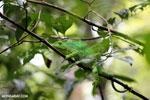 Parson's chameleon [madagascar_masoala_0645]