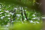 Parson's chameleon [madagascar_masoala_0647]