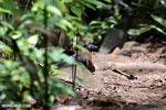 Crested Coua (Coua cristata) [madagascar_masoala_0652]