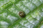Black Tortoise beetle with yellow polkadots