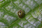 Black Tortoise beetle with yellow polkadots [madagascar_masoala_0657]
