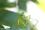 Green mantid