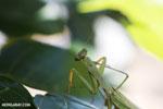 Green mantid [madagascar_masoala_0676]