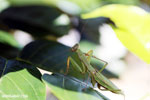 Green mantid [madagascar_masoala_0677]