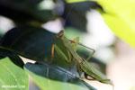 Green mantid [madagascar_masoala_0678]