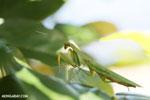 Green mantid [madagascar_masoala_0679]