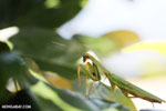 Green mantid [madagascar_masoala_0682]